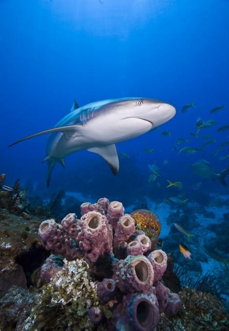 Hai an einem Korallenriff