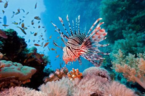 Feuerfisch im Korallenriff