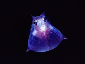 transparent-cowfish-newbert_18385_600x450