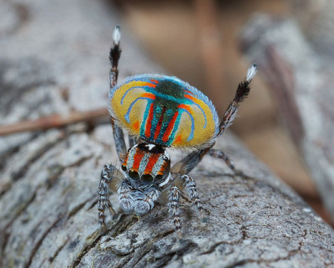 Peacock Spider 03