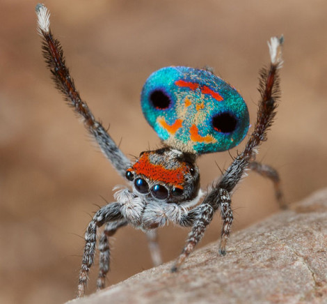 Peacock Spider 09