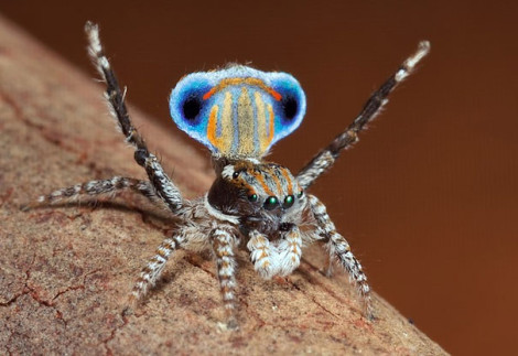 Peacock Spider 06