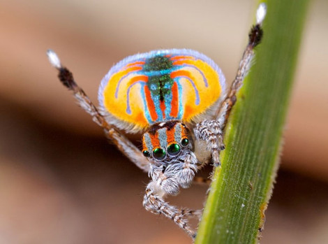 Peacock Spider 01