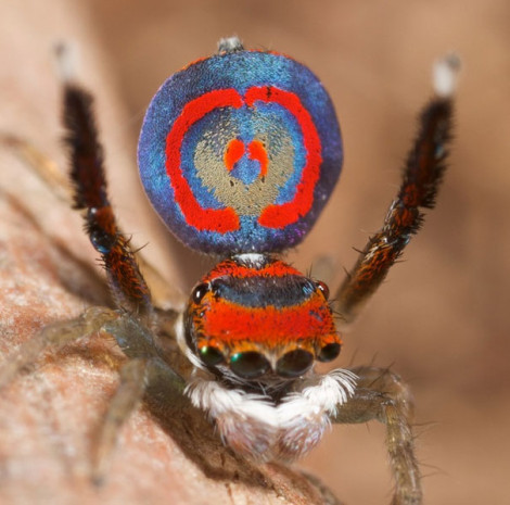 Peacock Spider 04