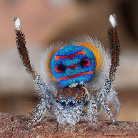 Peacock Spider 02