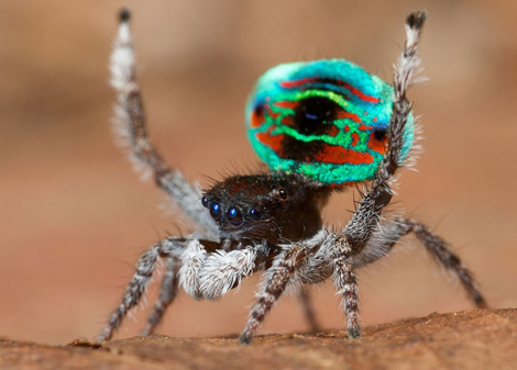 Peacock Spider 08