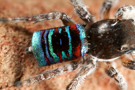 Peacock Spider 07